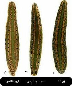 انواع گونه های زالوی طبی در ایران